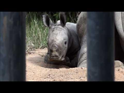 Rare white rhino born in French zoo