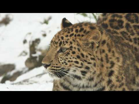 Two Amur leopards play in the snow at Vienna zoo