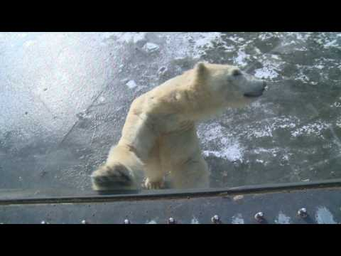 Polar bears at Berlin zoo enjoy icy weather