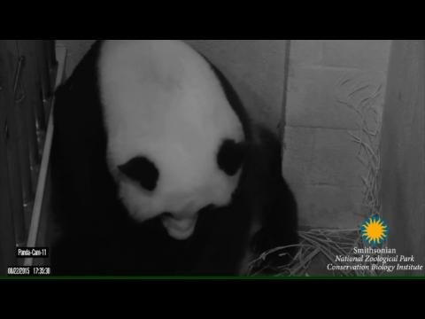 Naissance de deux bébés pandas géants au zoo de Washington