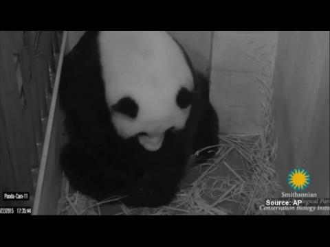 Deux bébés pandas géants sont nés au zoo de Washington