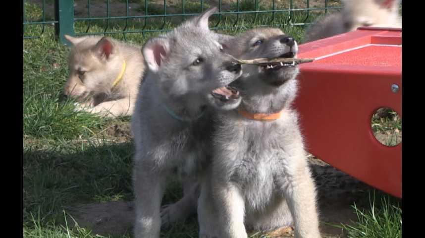 Le charme des bébés chiens loups de Saarloos