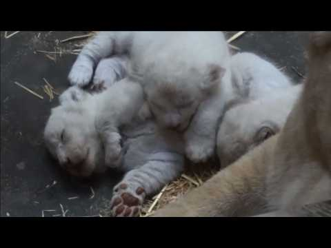 Three rare white lion cubs born in a French zoo