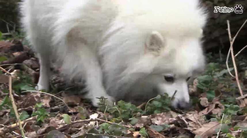 Z'animo : A la découverte des bull-terriers et des spitz japonais