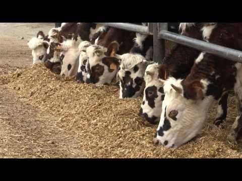 Vaches Laitières : Des éleveurs en crise
