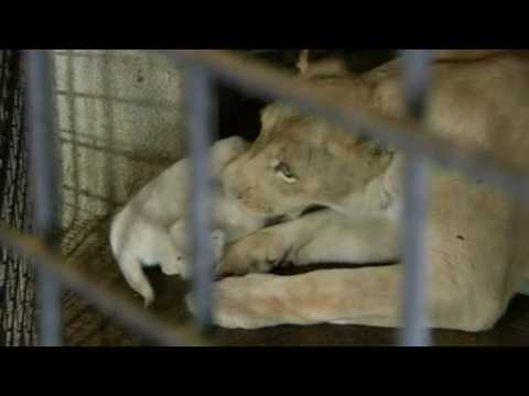 Three rare white lion cubs born in Tbilisi zoo