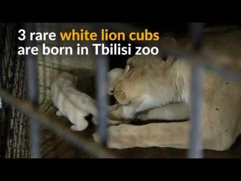 Triple joy for Georgian zoo as three rare white lion cubs are born