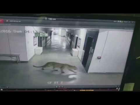 A leopard breaks into a school in India