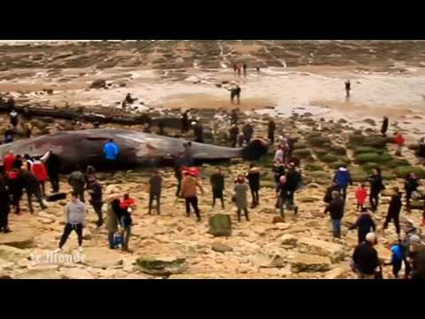 Des cachalots s'échouent sur des plages anglaises