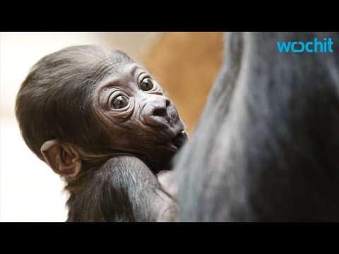Name The Baby Gorilla