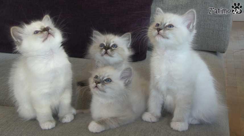 Les chatons sacré de Birmanie