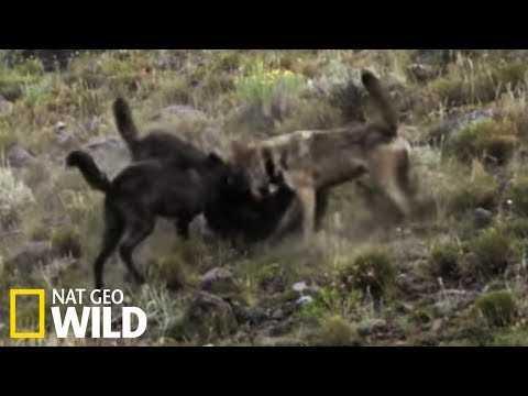 Meute de louves contre loup