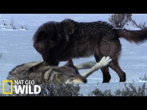 Loups contre louve