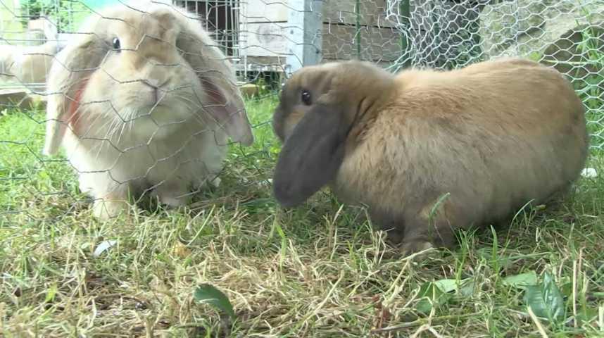 Z'animo et le lapin bélier nain