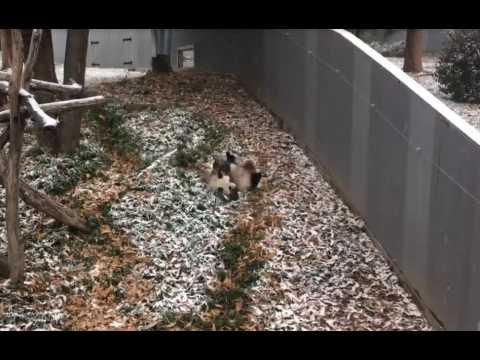 Un panda fait des roulades trop mignonnes dans la neige