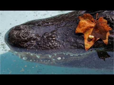 Muja The Alligator Still Alive In His 80s At Belgrade Zoo
