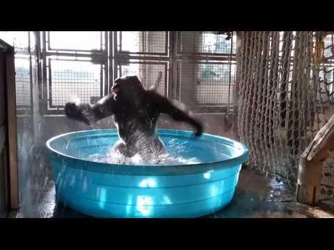 On ne fait pas plus heureux que ce gorille qui prend son bain