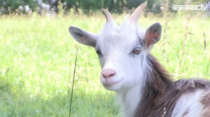 Partez à la découverte de cette chèvre 100% normande !