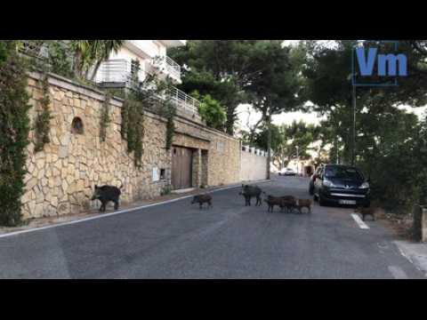 Les sangliers à l'aise sur les routes du Faron à Toulon
