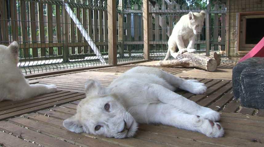 Des lionceaux blancs voient le jour en Normandie