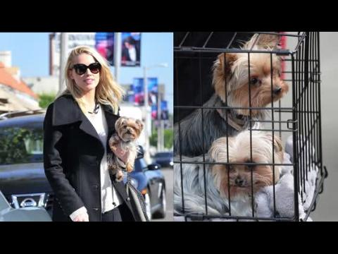 Amber Heard accusée d'avoir amené ses chiens illégalement en Australie