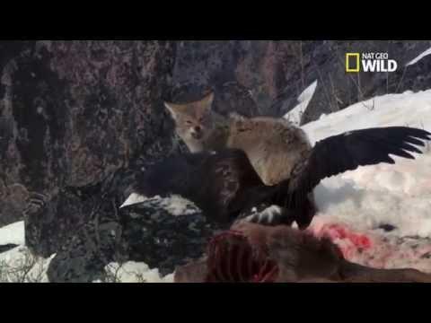 Un aigle vole la nourriture d'un loup