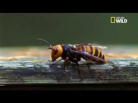 des millions d abeilles face un frelon sur orange vid os. Black Bedroom Furniture Sets. Home Design Ideas