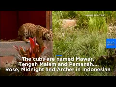 Watch: Rare Sumatran tiger cubs make debut at Sydney zoo