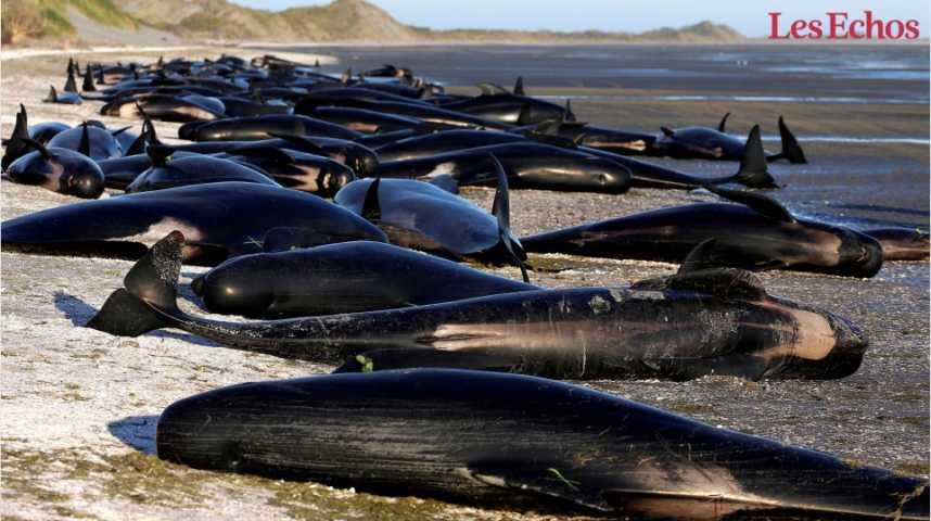 Illustration pour la vidéo Pourquoi les baleines échouent-elles en Nouvelle-Zélande ?