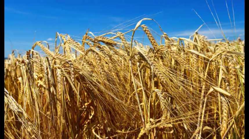 Illustration pour la vidéo Blé : Le Foll annonce un plan d'aide après des récoltes catastrophiques