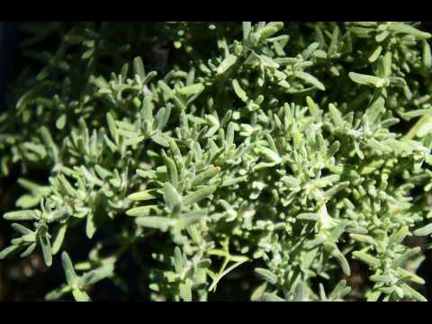 SANTE. Le thym, une plante médicinale pour aider à la digestion