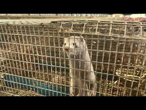 Greece's mink farms take a different approach to survive the COVID-19 pandemic