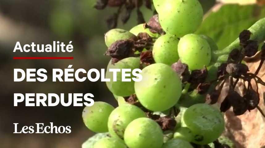 Illustration pour la vidéo Un champignon attaque le vignoble en Champagne
