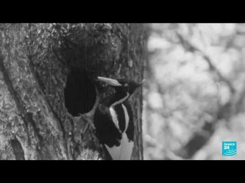 US to declare 23 species, including ivory-billed woodpecker, officially extinct