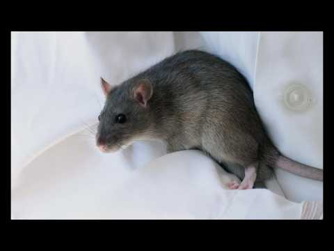 Quel cri émet un rat content ?