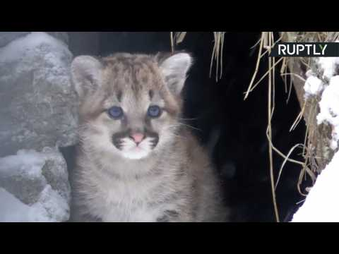 Adorable Newborn Cougar Cub Frolics in the Snow at Novosibirsk Zoo