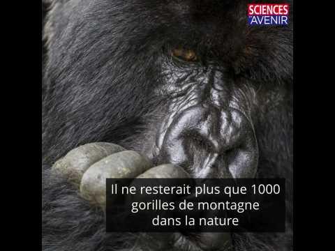 Le plus ancien parc naturel d'Afrique célèbre la naissance de deux gorilles