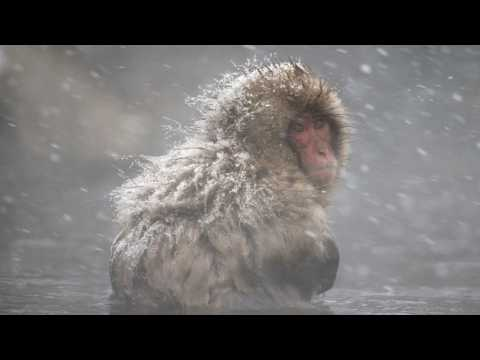 Macaque Monkeys Take Warm Baths to Deal With Stress