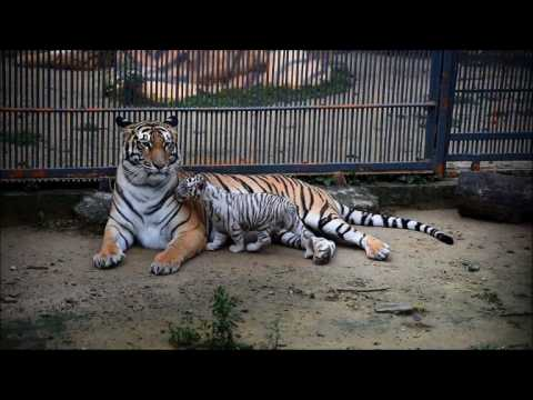 Rare white tiger cub born in Bangladesh zoo