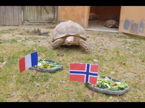 La tortue Ariane livre ses pronostics pour le match France-Norvège du 12 juin