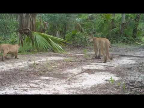 Strange walking disorder is crippling Florida's panthers and bob cats