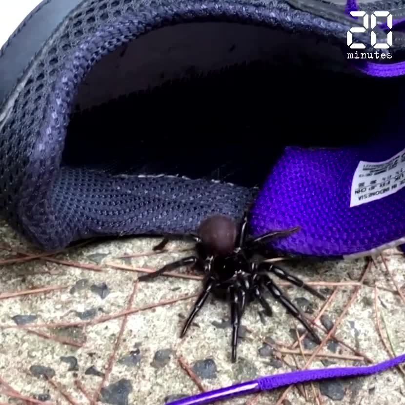 Des araignées dangereuses prolifèrent en Australie, après les incendies