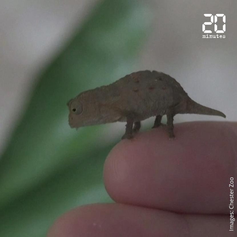 Des caméléons de la taille d'une phalange sont nés dans un zoo anglais