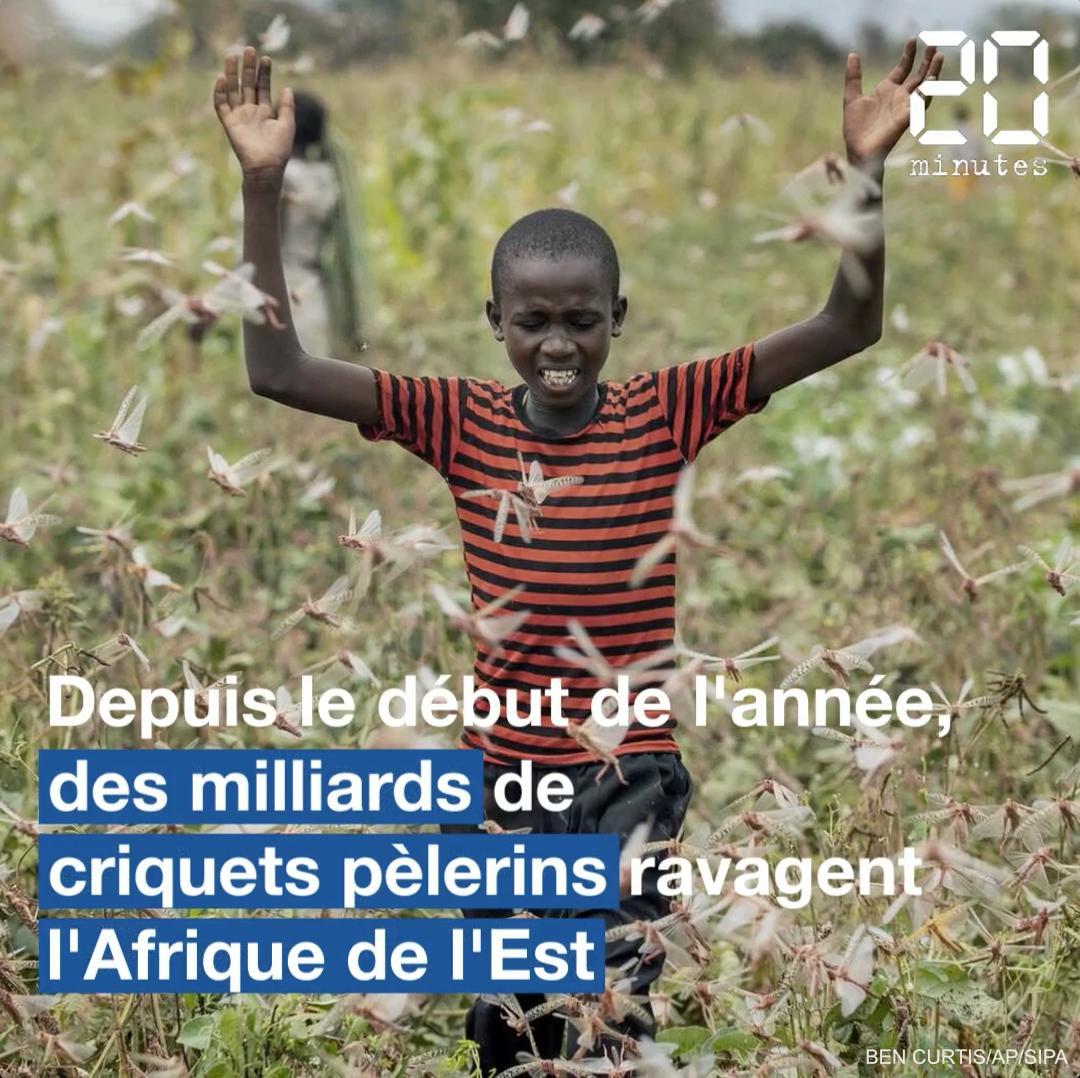 Les essaims de criquets pèlerins ravagent les cultures en Afrique de l'Est