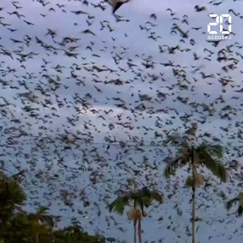 Australie: Des centaines de milliers de chauves-souris envahissent une ville