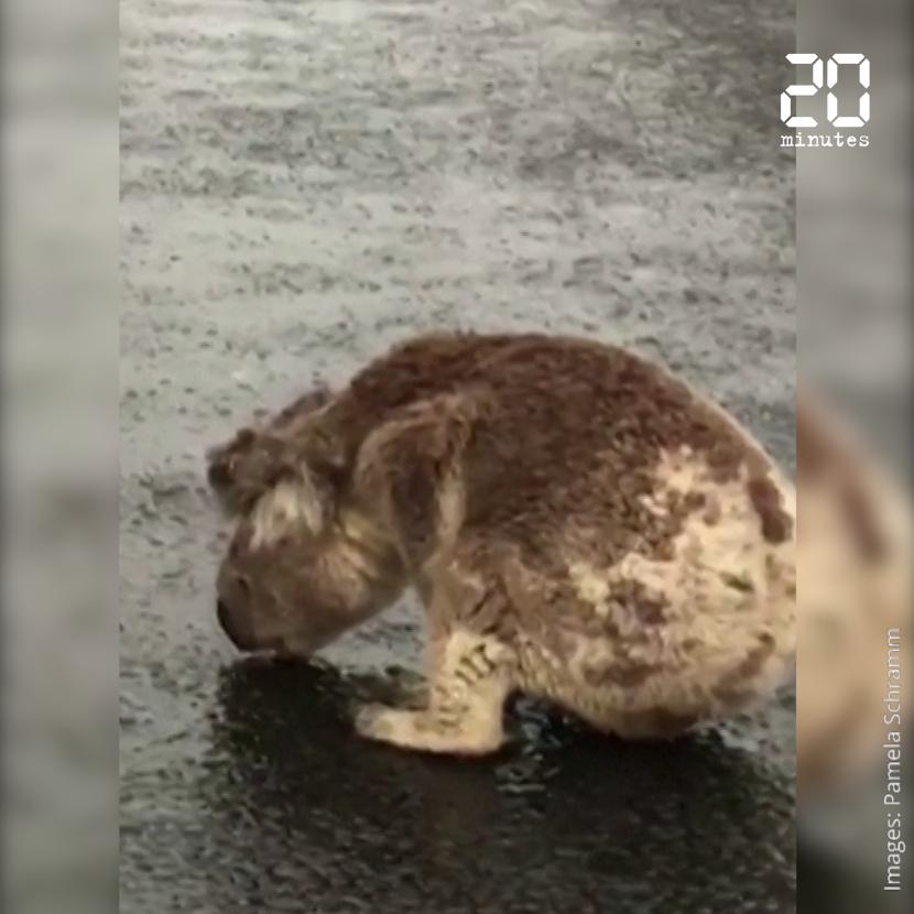 Australie: Un koala assoiffé boit de l'eau de pluie à même le goudron