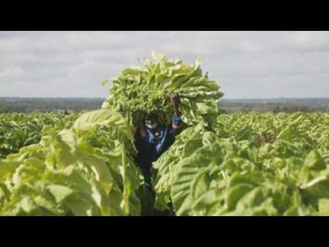 Tobacco harvest season begins in Zimbabwe