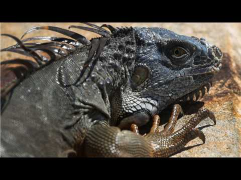 The Purge Has Begun For Florida Iguanas