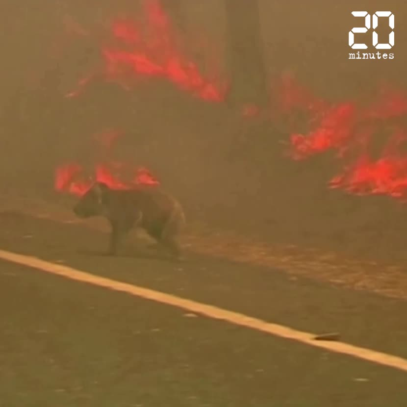 Une Australienne sauve un koala des flammes.
