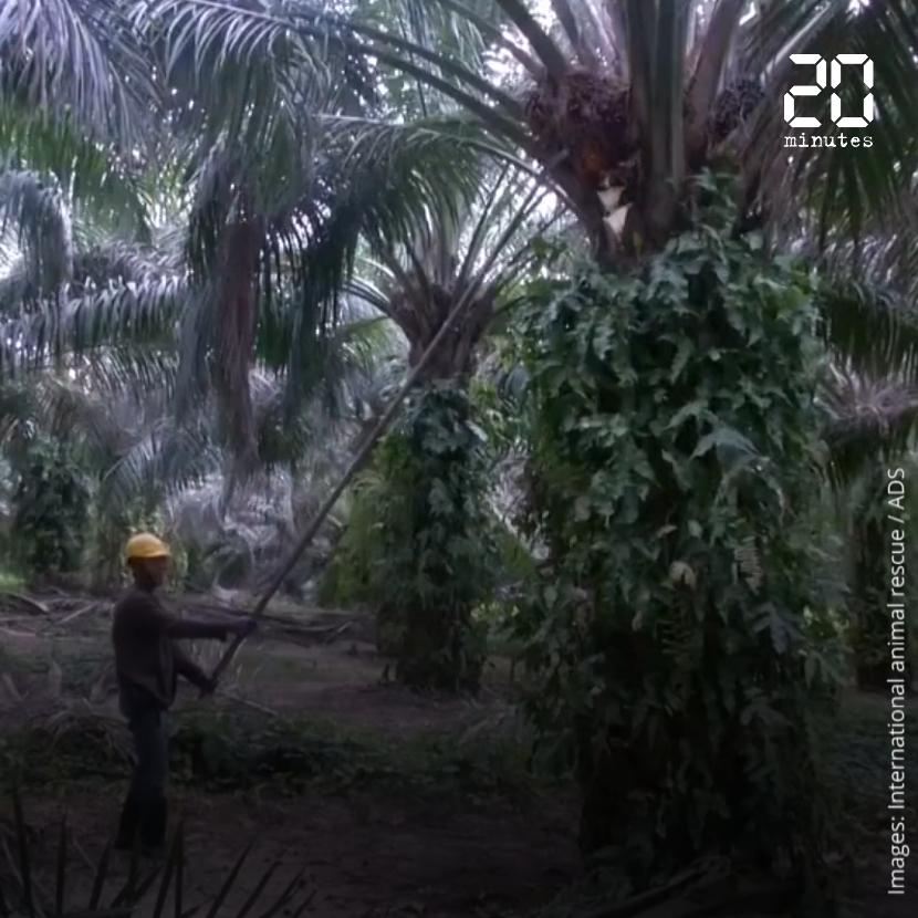 C'est quoi le problème avec l'huile de palme ?